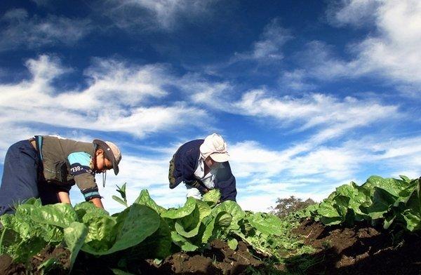 Kmeta na polju solate