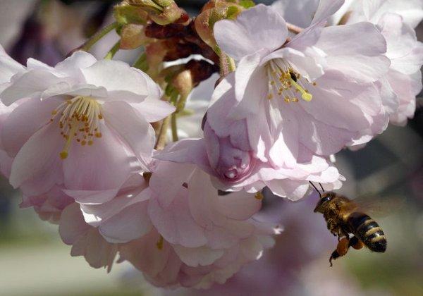 Češnja cveti
