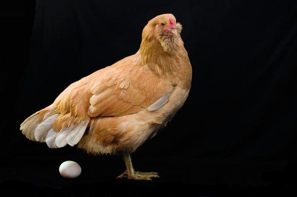 Najprej kura, potem pa še jajce. (Foto: iStockphoto)